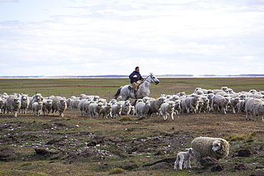 Gaucho on horse with flock of sheep, Tierra del Fuego, Argentina, South America