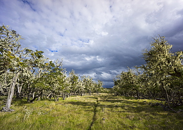 Bearded trees, Tierra del Fuego, Argentina, South America