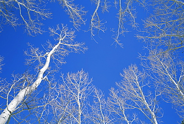 Bare aspen trees against a blue sky in the Dixie National Forest, Utah, United States of America, North America