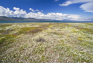 Wild flowers near Skala Polichnitos, Lesbos(Lesvos) Island, Greece, Greek Islands, Aegean Sea, Europe