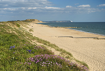 Sea pinks, Hengistbury Head Beach, Poole Bay, Bournemouth, with Isle of Wight in the background, Dorset, England, United Kingdom, Europe