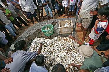 People crowd around auction of fish from a large open net on beach at Beruwala, Sri Lanka, Asia