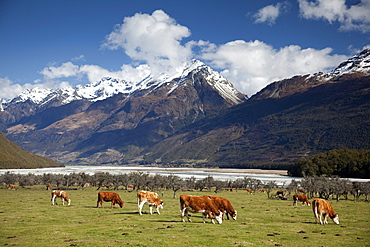 Hereford cattle in Dart River Valley near Glenorchy, Queenstown, South Island, New Zealand, Pacific