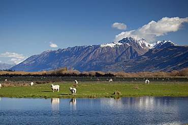 Sheep in Dart River Valley, Glenorchy, Queenstown, South Island, New Zealand, Pacific