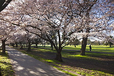 Flowering cherry trees in blossom along Harper Avenue, Hagley Park, Christchurch, Canterbury, South Island, New Zealand, Pacific
