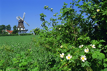 Summer flowers in hedge with the Egeskov Windmill behind, Funen, Denmark, Scandinavia, Europe