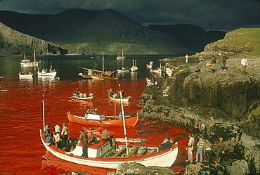 Whaling, Tindholmur Bay, Vagar Island, Faroe Islands (Faeroes), North Atlantic (1968)