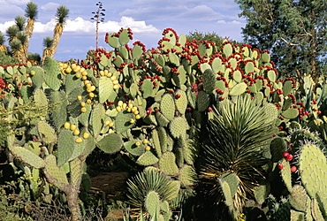 Huge prickly pear cactus and other desert flora, Zacatecas State, Mexico, North America