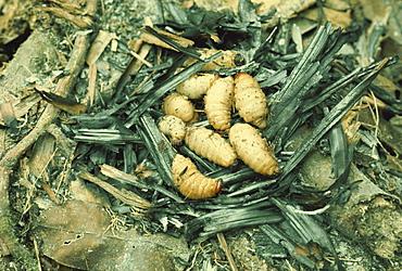 Sago grubs, to be eaten, Irian Jaya, Indonesia, Southeast Asia, Asia