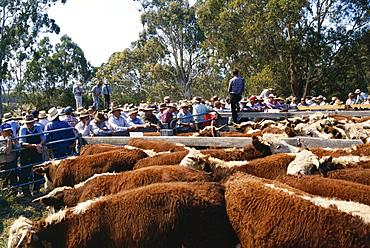 Cattle sale in Victorian Alps, Victoria, Australia, Pacific