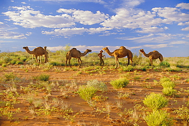 Camels, Central Desert, Northern Territory, Australia