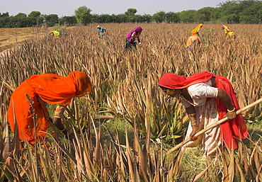 Women in colourful saris in a field of aloe vera preparing for flood irrigation, village of Borunda, Rajasthan state, India, Asia