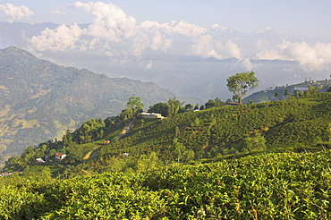 Singtom tea garden, snowy and cloudy Kandchengzonga peak in background, Darjeeling, West Bengal state, Himalayas, India, Asia