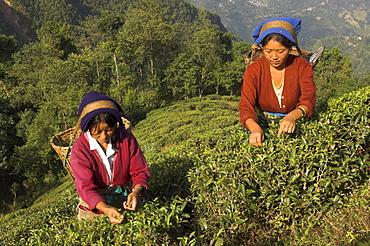 Two women plucking tea at Singtom tea garden, Darjeeling, West Bengal state, India, Asia