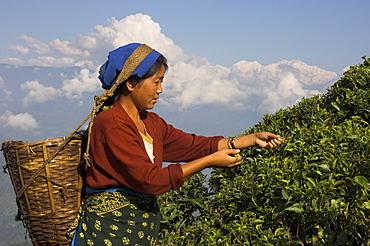 Woman plucking tea at Singtom tea garden, Darjeeling, West Bengal state, India, Asia