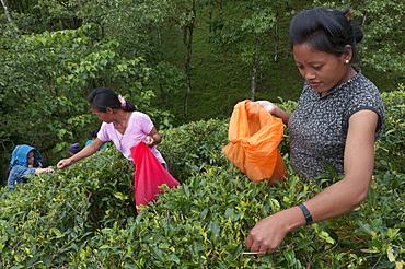 Women plucking tea, Fikkal, Nepal, Asia