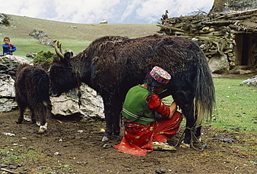 A woman in an embroidered hat milking the yak-cow, Yash-Pert Summer Diary in the Hunza area of Pakistan, Asia
