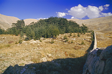 Last remaining cedar forest covering only a few hectares, Cedar Forest, Lebanon, Middle East