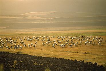 Flock of sheep, important in the Kurdish economy, Kurdistan, Anatolia, Turkey, Asia Minor, Eurasia
