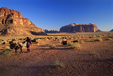 Returning to the village with the herd, Wadi Rum, Jordan, Middle East