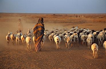 Woman herding sheep at sundown, Hartisheik, Ethiopia, Africa