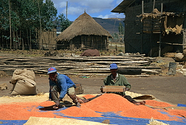 Sifting lentils in the wind, Ankober, Ethiopia, Africa