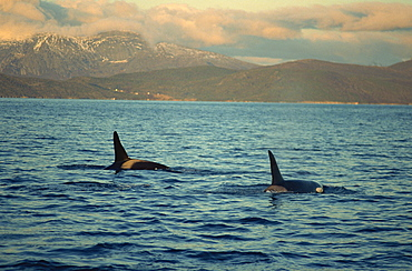 Killer whales (Orcinus Orca) research, wintertime, Tysfjord, Arctic, Norway, Scandinavia, Europe