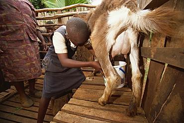 Mother teaching daughter to milk goat, Meru, Kenya, East Africa, Africa
