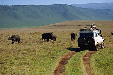 Tourists viewing buffalo from four wheel drive, Ngorongoro Crater, UNESCO World Heritage Site, Tanzania, East Africa, Africa