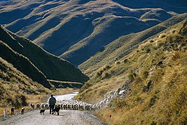 Shepherd herding flock of sheep through mountain pass, Glenorchy, South Island, New Zealand, Pacific