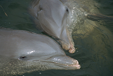 Close-up of bottlenose dolphins kissing