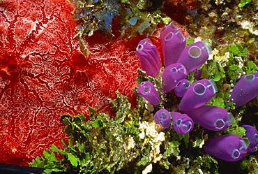 Colourful coral and sea plants, Honduras, Central America
