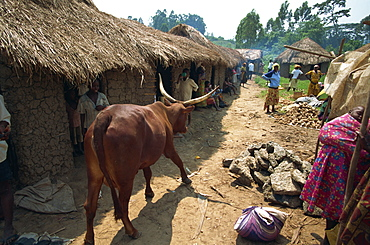 Mad cow walking around market stalls, Uganda, East Africa, Africa
