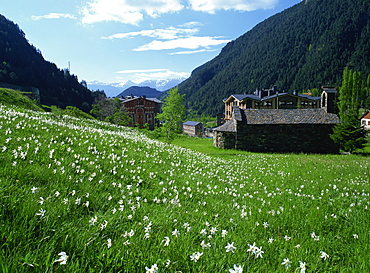 Poet's narcissus (Narcissus poeticus) and tiny old church above Arinsal village where Andorra's national flower grows in profusion, Arinsal, Andorra, Pyrenees, Europe
