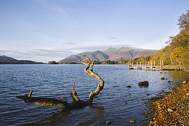 Log in water near Barrow Bay landing on Derwent Water, looking north to Skiddaw in autumn, Keswick, Lake District National Park, Cumbria, England, United Kingdom, Europe