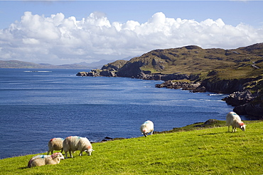 Sheep grazing by rugged coastline of Coulagh Bay between Urhin and Allihies on Ring of Beara tourist route, Knocknagallaun, Beara Peninsula, County Cork, Munster, Republic of Ireland, Europe