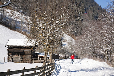 Man walking on Winterwanderweg cleared trail along Alpine valley with snow in winter, Rauris, Austria, Europe