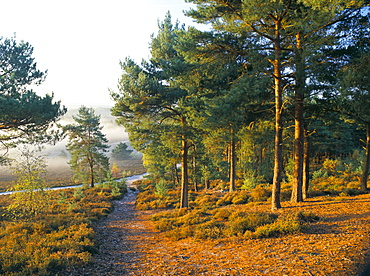 Scots pine trees just after sunrise in autumn, Frensham Little Pond, Frensham Common, owned by National Trust, Surrey, England, United Kingdom, Europe