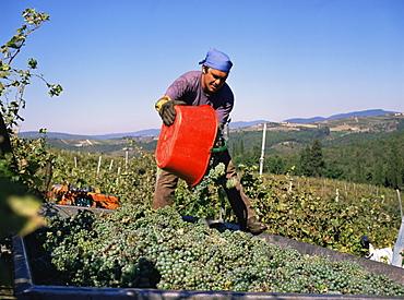 Harvesting grapes in the Chianti Classico region, Castelo Brolio Estate, Tuscany, Italy, Europe