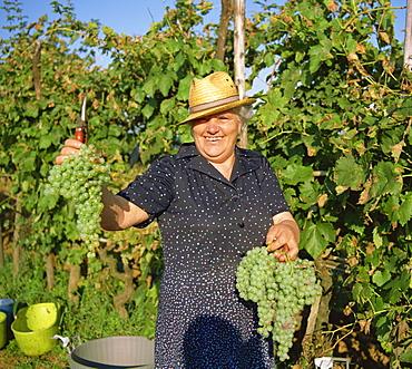 Grape picker near San Gimignano, holding Malvasia grapes, Tuscany, Italy, Europe