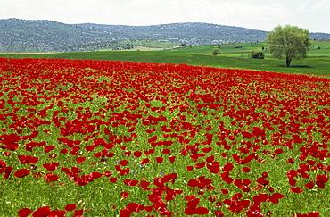 Spring flowers near Beysehir, Anatolia, Turkey, Asia Minor, Eurasia