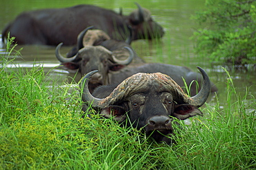 Close-up of head of cape buffalo (Syncerus caffer), Kruger National Park, South Africa, Africa