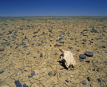 Cracked earth and cattle skull in the Outback of South Australia, Australia, Pacific