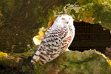 The Snowy Owl (Bubo scandiacus) is a large owl of the typical owl family Strigidae, United Kingdom, Europe
