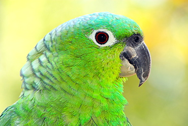 Mealy parrot (Amazona farinosa) is one of the largest Amazon parrot species, in captivity in the United Kingdom, Europe - 64-1390