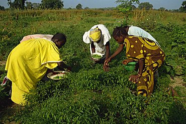 Picking peppers, The Gambia, West Africa, Africa