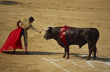 Matador with red cape and wounded bull bleeding during a bullfight in Arles, Bouches du Rhone, Provence, France