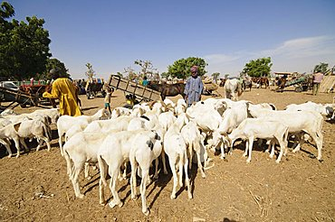 Animal market at Ngueniene, near Mbour, Senegal, West Africa, Africa