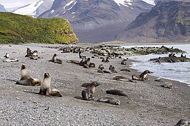 Fur seals, Fortuna Bay, South Georgia, South Atlantic