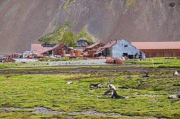 Fur seals in front of Old Whaling station at Stromness Bay, South Georgia, South Atlantic